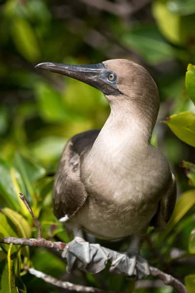 Galapagos Boobie Bird