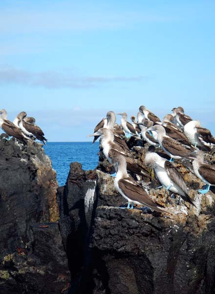 West_Blue-footed Boobies Elizabeth Bay_LisaBaird